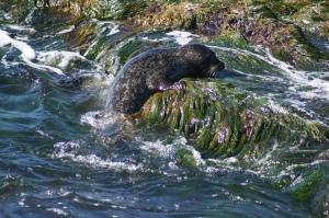 climbing seal