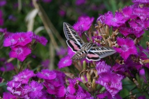 One of my favorite visitors to the garden: the hummingbird moth. They are so fun to watch and also great at teasing my cats.