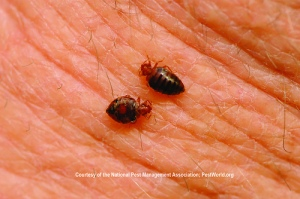 bedbugs eating